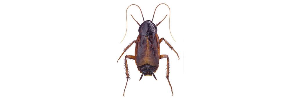 Kackerlaka i profil