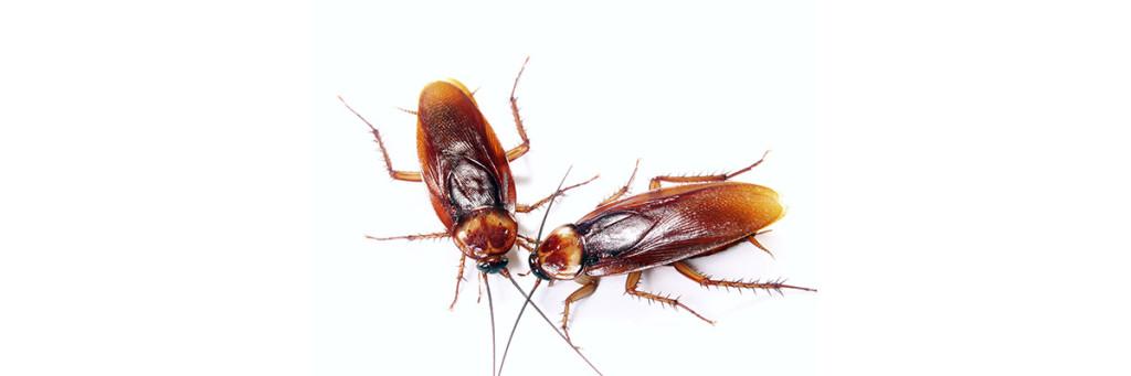Kackerlackan finns i olika arter