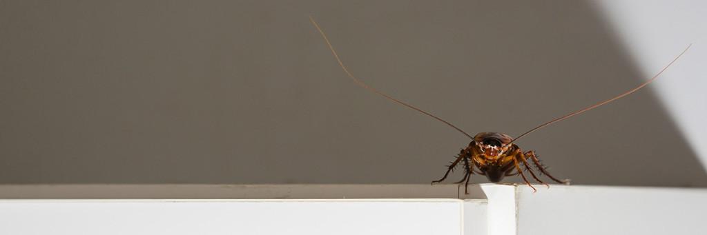 En kackerlacka sprider sig med människor.